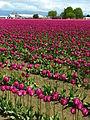 Field of purple tulips.jpg
