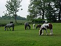 Field with grazing horses during Appleby Fair week - geograph.org.uk - 461632.jpg