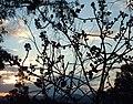Figs against the sky - panoramio.jpg