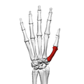First metacarpal bone (left hand) 02 dorsal view.png