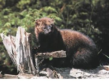 Fisher (animal)