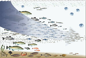 Human impact on the environment - Fishing down the foodweb.