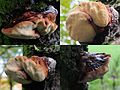 Fistulina hepatica (GB= Beefsteak polypore fungus or Ox Tongue, D= Leberreischling, or Ochsenzunge, F= Langue de bœuf, NL= Biefstukzwam), pinkish spores and causes brown rot, at Airborne cemetry Oosterbeek - panoramio.jpg