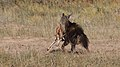 Five cheetahs were feeding on a Springbok kill one morning in th (34376902152).jpg