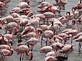 Flamingoes flying 02.jpg