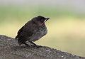 Fledgling - Pycnonotus xanthopygos 01.jpg
