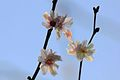 Fleurs de cerisier (6901726131).jpg