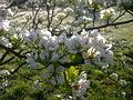 Fleurs de poirier à Grez-Doiceau 006.jpg