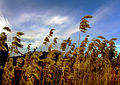Flickr - Per Ola Wiberg ~ mostly away - Reed and sky.jpg