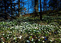 Flickr - Per Ola Wiberg ~ mostly away - the wood of anemones.jpg