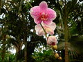 Flickr - brewbooks - Pink phalaenopsis Orchid - Hawaii Tropical Botanical Garden (1).jpg