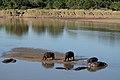 Flickr - ggallice - Hippos, Luangwa River (1).jpg