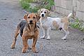 Flickr - ggallice - Street dogs (1).jpg