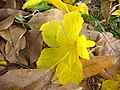 Flor do Ipê amarelo - panoramio.jpg