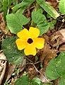 Flores de Guaramiranga CE - Yellow.jpg