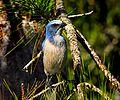 Florida Scrub-Jay (Aphelocoma coerulescens) - Flickr - Andrea Westmoreland.jpg