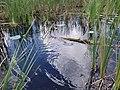 Florida Swamp - panoramio (4).jpg