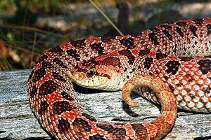 Southern hognose snake - Red phase southern hog-nosed snake