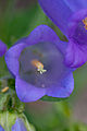 "Flower, Campanula medium ""Canterbury bells"" - Flickr - nekonomania (2).jpg"