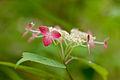 "Flower, Hydrangea ""Kurenai-YamaAjisai"" - Flickr - nekonomania (2).jpg"