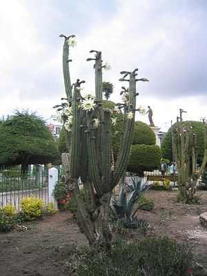 Psychoactive cactus - San Pedro with flower