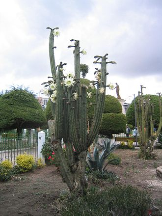 Entheogen - Flowering San Pedro, an entheogenic cactus that has been used for over 3,000 years. Today the vast majority of extracted mescaline is from columnar cacti, not vulnerable peyote.