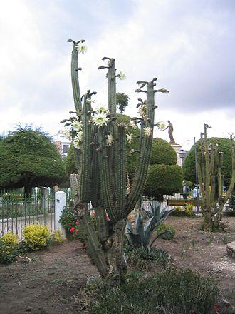 Drug - San Pedro, a psychoactive cactus