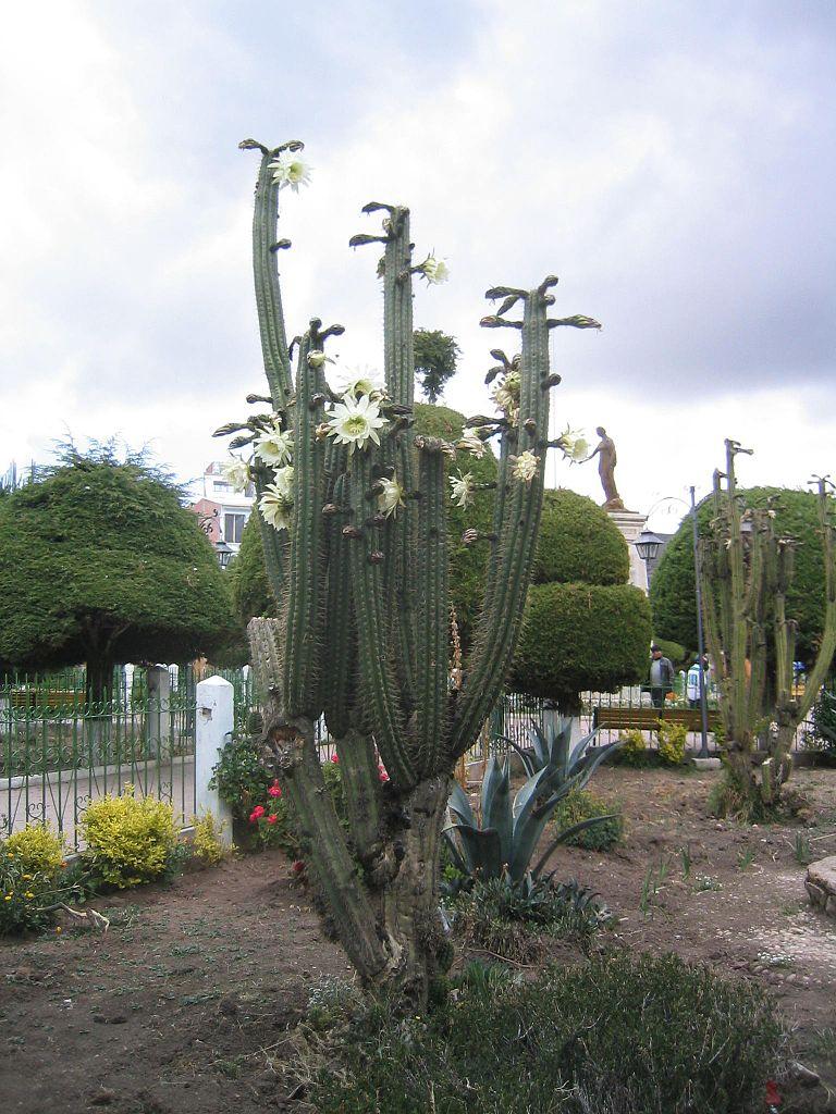 how to take san pedro cactus