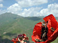 Flowers, Vayots Dzor 03.jpg