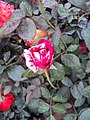 Flowers - Uncategorised Garden plants 197.JPG