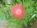 Flowers of Cuba -Laslovarga.JPG