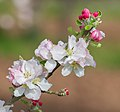 Flowers of Malus domestica (15).jpg