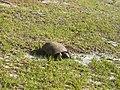 Foraging Florida Gopher Tortoise 001.JPG