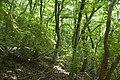 Forest in Mt.Kinoko 01.jpg