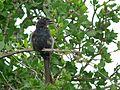 Fork-tailed Drongo (Dicrurus adsimilis) (6035258093).jpg