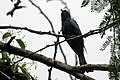 Fork-tailed drongo-cuckoo (Surniculus dicruroides) from the Anaimalai hills JEG3946.jpg
