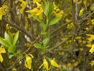 Forsythia - Image: Forsythia.x.intermed ia 03