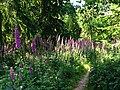 Foxgloves Galore - geograph.org.uk - 21204.jpg