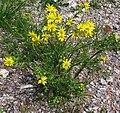 Frühlings-Greiskraut (Senecio vernalis) 2.jpg