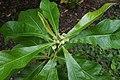 Franklinia alatamaha (Franklin Tree) (35593106380).jpg