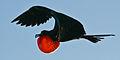 Fregattvogel-barbuda.jpg