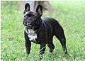 French Bulldog Male.jpg