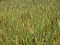 Fresh water couch grass (3438508641).jpg