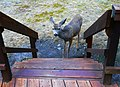 Friendly Deer at Wallowa Lake State Park (37802563372).jpg