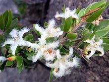 Frilly flowers Wineglass Bay lookout Freycinet National Park.JPG
