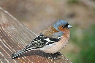 Buchfinken-Männchen