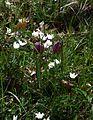 Fritillaria meleagris - Flickr - peganum (4).jpg
