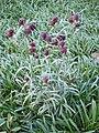 Fritillaria ruthenica 1.jpg