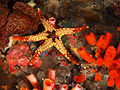 Fromia monilis (Starfish).jpg