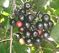 Fruto de Syzygium.jpg